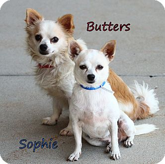 Chihuahua Mix Dog for adoption in Lafayette, Indiana - Sophie and Butters