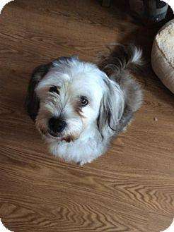 Lhasa Apso Mix Dog for adoption in Harrisburg, Pennsylvania - Buddy
