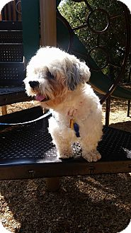 Shih Tzu/Lhasa Apso Mix Dog for adoption in La Verne, California - Lincoln