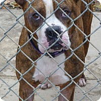 American Staffordshire Terrier Mix Dog for adoption in Zanesville, Ohio - 45410 Charmer sponsored $75 + tags