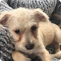 Adopt A Pet :: Sophia - Las Vegas, NV