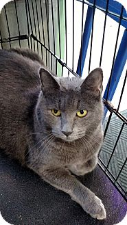 Russian Blue Cat for adoption in Yuba City, California - Molly