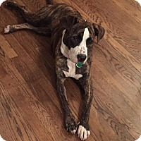 Boxer/American Pit Bull Terrier Mix Dog for adoption in Cleveland, Ohio - Lady Bird