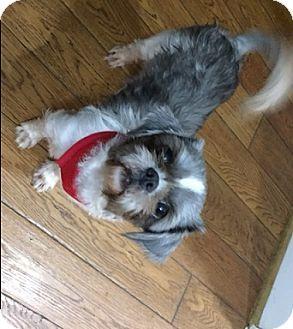 Shih Tzu Dog for adoption in Honeoye Falls, New York - Darla