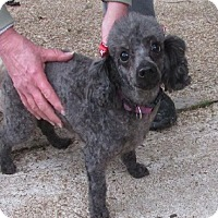 Adopt A Pet :: Chloe - House Springs, MO