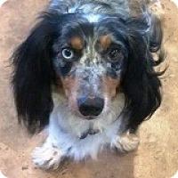 Adopt A Pet :: Nicholas Nutcracker - Houston, TX