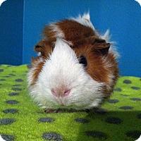 Adopt A Pet :: Warlock - Coral Springs, FL