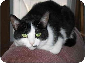 Domestic Mediumhair Cat for adoption in North Boston, New York - Maye