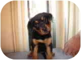 Rottweiler Mix Puppy for adoption in Surrey, British Columbia - Emma
