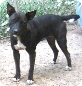 Labrador Retriever/American Pit Bull Terrier Mix Dog for adoption in Tahlequah, Oklahoma - Sally
