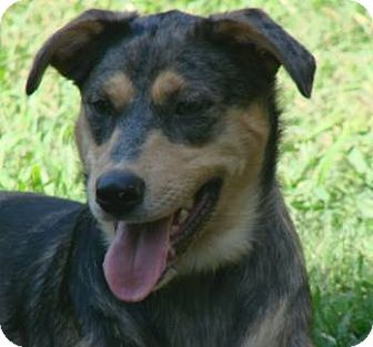 Catahoula Mix Shepherd Dog Breed http://www.adoptapet.com/pet/6827667-mount-ida-arkansas-australian-shepherd-mix