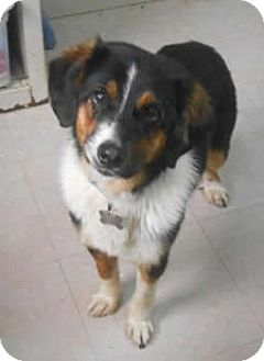 Australian Shepherd Mix Dog for adoption in Avon, New York - Luke
