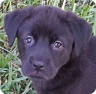 Labrador Retriever Mix Puppy for adoption in Orlando, Florida - Darcy#4F