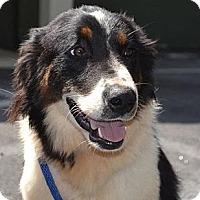 Adopt A Pet :: Alfie - New Boston, NH