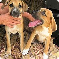 Adopt A Pet :: *Boxer Girls - PENDING - Westport, CT