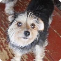 Adopt A Pet :: Scruffy - dewey, AZ