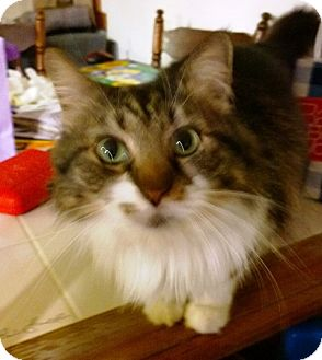 Domestic Longhair Cat for adoption in Ravenna, Texas - Aurora