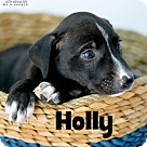 Adopt A Pet :: Holly