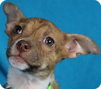 Yoda Adopted Puppy Minneapolis Mn Chihuahua Mix