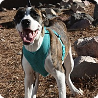 Adopt A Pet :: Venus - Henderson, NV