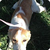 Adopt A Pet :: Stella - Manteca, CA