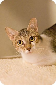 Domestic Shorthair Cat for adoption in Grayslake, Illinois - Janelle