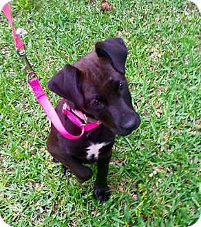 Labrador Retriever Mix Puppy for adoption in Beaumont, Texas - Phoebe