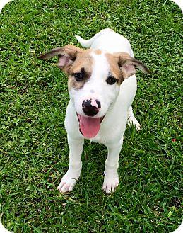 Australian Shepherd Mix Puppy for adoption in Beaumont, Texas - MarshaMallow