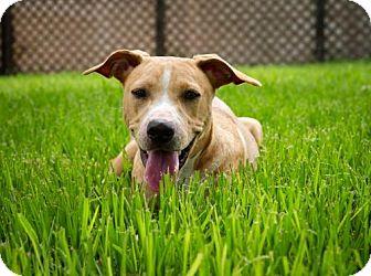 Labrador Retriever/Hound (Unknown Type) Mix Puppy for adoption in BROOKSVILLE, Florida - IRISH