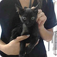 Domestic Mediumhair Kitten for adoption in San Bernardino, California - A496892