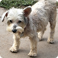Schnauzer (Miniature) Mix Dog for adoption in Allentown, Pennsylvania - Acorn