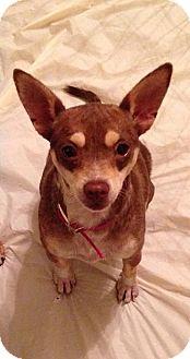 Chihuahua Dog for adoption in Coldwater, Michigan - Kanga