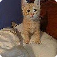 Adopt A Pet :: T-BONE - Hampton, VA