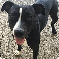 Adopt A Pet :: MC KENNA (Auburn) super sweet & playful - Bainbridge Island, WA