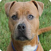 Pit Bull Terrier Dog for adoption in Decatur, Illinois - LEVI