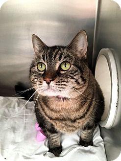 Domestic Shorthair Cat for adoption in North Las Vegas, Nevada - Lori