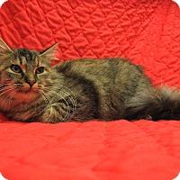 Domestic Longhair Cat for adoption in Redwood Falls, Minnesota - Everdeen