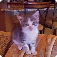 Domestic Shorthair Cat for adoption in Kohler, Wisconsin - Sparrow (Jack)