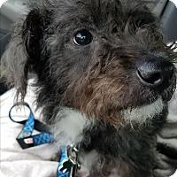 Adopt A Pet :: Zippy - Alpharetta, GA