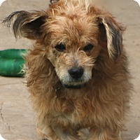 Cairn Terrier Mix Dog for adoption in Norwalk, Connecticut - Hedwig