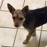 Adopt A Pet :: Kayla - Redmond, WA