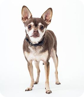 Chihuahua Mix Dog for adoption in Terre Haute, Indiana - NINA