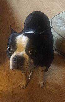 Boston terrier jackson tn