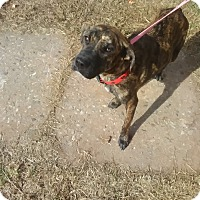 Adopt A Pet :: Sheba - Pottstown, PA