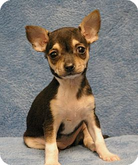 Chihuahua Mix Puppy for adoption in Sacramento, California - Midge