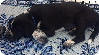 Australian Cattle Dog/Labrador Retriever Mix Puppy for adoption in Phoenix, Arizona - Taylor