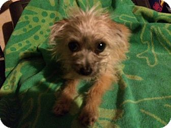 Kato Adopted Dog Rescue Houston Tx Yorkie Yorkshire Terrier Chihuahua Mix