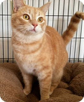 Domestic Shorthair Cat for adoption in West Columbia, South Carolina - Fluff