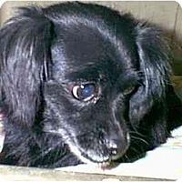 Adopt A Pet :: Daisy - dewey, AZ