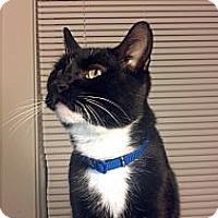 Adopt A Pet :: Sherlock - Syracuse, NY